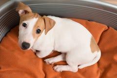 Jack Russell Terrier Lying på hundsäng Royaltyfri Bild