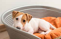 Jack Russell Terrier Lying sur le lit de chien Photos stock