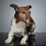 Jack Russell Terrier lying on the table in studio. Jack Russell Terrier lying on  table in studio Stock Photos
