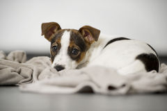 Jack russell terrier lying young studio Stock Images