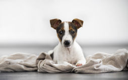 Jack russell terrier lying young studio Royalty Free Stock Photos