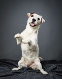 Jack Russell terrier male Stock Photography