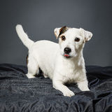 Jack Russell terrier male Royalty Free Stock Photos