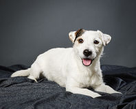Jack Russell terrier male Stock Image