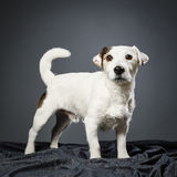 Jack Russell terrier male Stock Photos