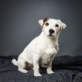 Jack Russell terrier male Royalty Free Stock Photography
