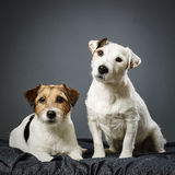 Jack Russell terrier male and female Stock Images