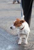 Jack Russell Terrier marchant sur une avance avec le propriétaire Images libres de droits