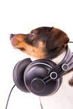 Jack Russell terrier med hörlurar på en vit bakgrund Arkivbild