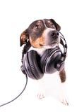 Jack Russell terrier med hörlurar på en vit bakgrund Royaltyfri Bild