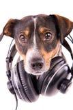 Jack Russell terrier med hörlurar på en vit bakgrund Royaltyfri Fotografi