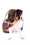 Jack Russell Terrier mit Gläsern auf einem weißen Hintergrund stockbilder