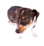 Jack Russell Terrier mit Gläsern auf einem weißen Hintergrund lizenzfreie stockfotografie