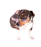 Jack Russell Terrier mit Gläsern auf einem weißen Hintergrund stockfotos
