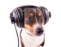 Jack Russell-Terrier mit Kopfhörern auf einem weißen Hintergrund stockbilder
