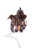 Jack Russell-Terrier mit Kopfhörern auf einem weißen Hintergrund stockfoto