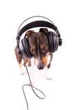 Jack Russell-Terrier mit Kopfhörern auf einem weißen Hintergrund stockbild