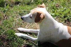 Jack Russell Terrier Mix Dog Looks mignon au côté photos libres de droits