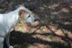 Jack Russell Terrier Mix Dog Looks mignon en avant photo libre de droits