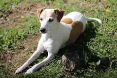 Jack Russell Terrier Mix Dog Looks mignon en avant photographie stock