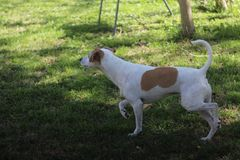 Jack Russell Terrier Mix Dog Walks mignon en avant et regards au côté image stock