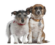 Jack Russell Terrier and Mixed-breed dog Stock Image