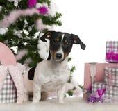 Jack Russell Terrier, 9 mois photo libre de droits