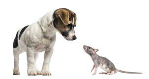 Jack Russell Terrier, 4 mois et jeune rat chauve photo stock
