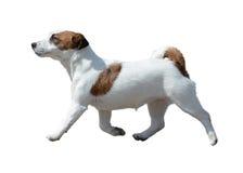 Jack Russell Terrier in motie wordt geïsoleerd die Royalty-vrije Stock Foto