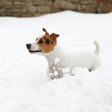 Jack russell terrier moving in winter Stock Image