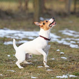 Jack russell terrier moving in winter Royalty Free Stock Photo