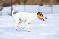Jack russell terrier moving in winter Royalty Free Stock Image