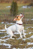 Jack russell terrier moving in winter Stock Photos