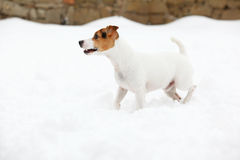 Jack russell terrier moving in winter Stock Images