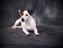 Jack Russell Terrier. My beloved dog stock images