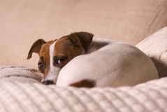 Jack Russell Terrier Napping on a Pillow Royalty Free Stock Photography