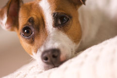 Jack Russell Terrier Napping on a Pillow Stock Photos