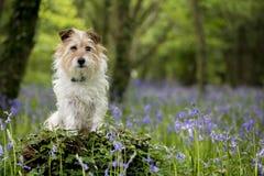 Jack Russell Terrier nel legno con le campanule Immagini Stock