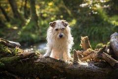 Jack Russell Terrier nel legno nel tempo di autunno Immagine Stock
