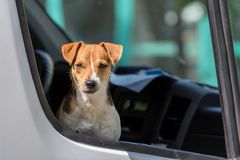 Jack Russell Terrier in open pickup car window. Lonely dog stock photos