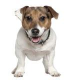 Jack Russell Terrier, oude 2 en een half jaren Royalty-vrije Stock Foto