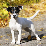 Jack Russell terrier outdoors Stock Images