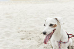Jack Russell Terrier på strandbakgrund Arkivfoton