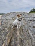 Jack Russell Terrier på stranden vaggar royaltyfria bilder