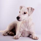 Jack Russell Terrier på studion på vit arkivfoton