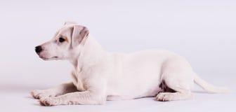 Jack Russell Terrier på studion på vit Arkivfoto