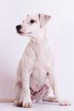 Jack Russell Terrier på studion på vit royaltyfria bilder