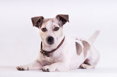Jack Russell Terrier på studion på vit Arkivbild