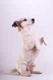 Jack Russell Terrier på studion på vit arkivbilder