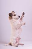Jack Russell Terrier på studion på vit royaltyfri bild